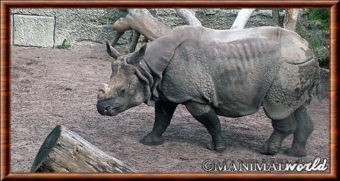 Rhinocéros indien 02