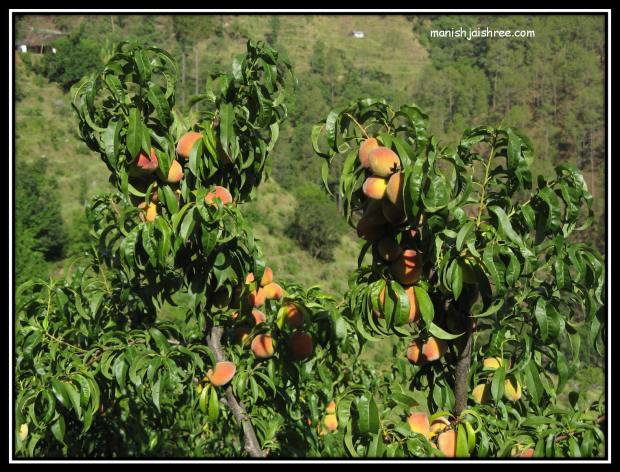 A tree laden with Peaches
