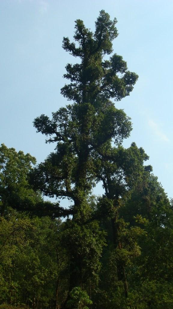 The tall Deodar