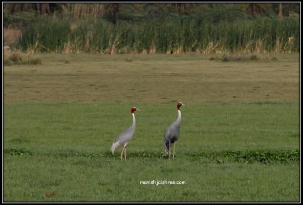 Sarus Crane- state bird of Uttar Pradesh