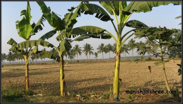 Golden farms on road to Konark