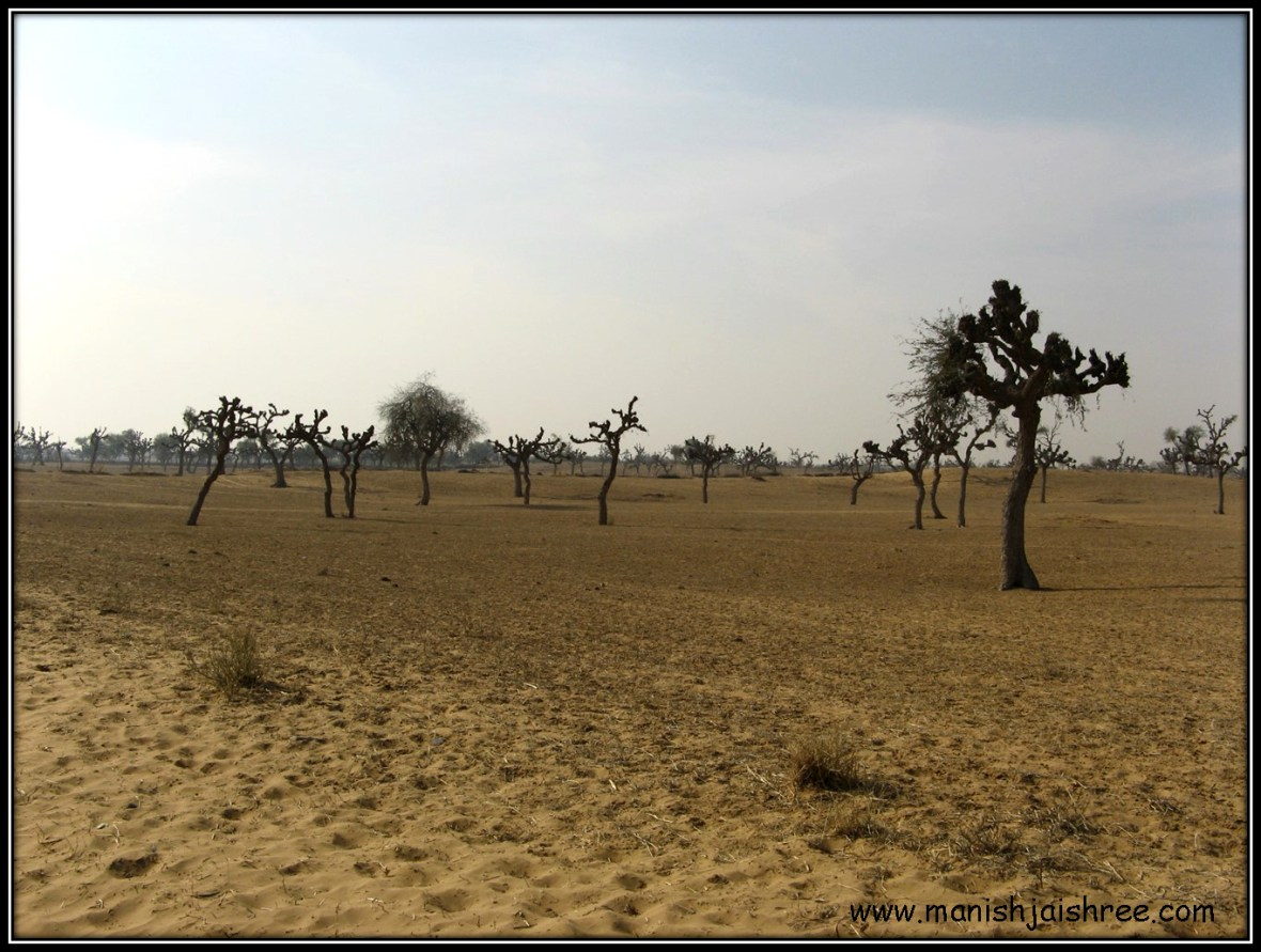 Desert sprinkled with Khejri Trees