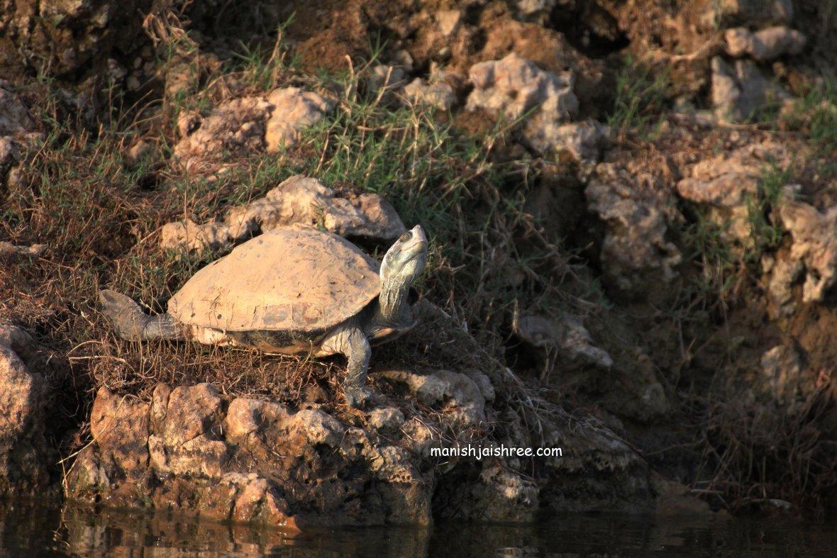 Tent turtle