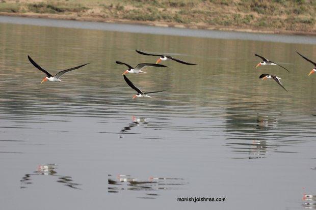 Indian Skimmer- star of the Chambal avifauna