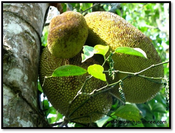 Close-up of the jack-fruit