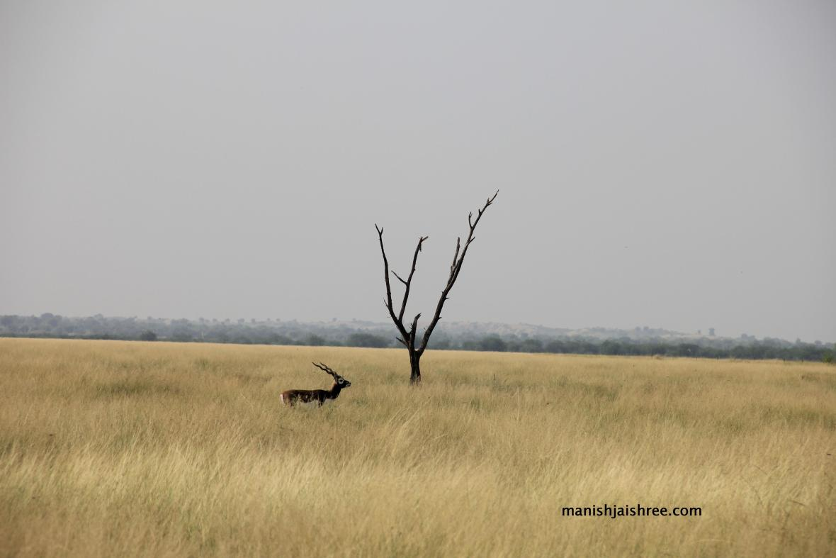 A male blackbuck with the grasslands stretching far and wide