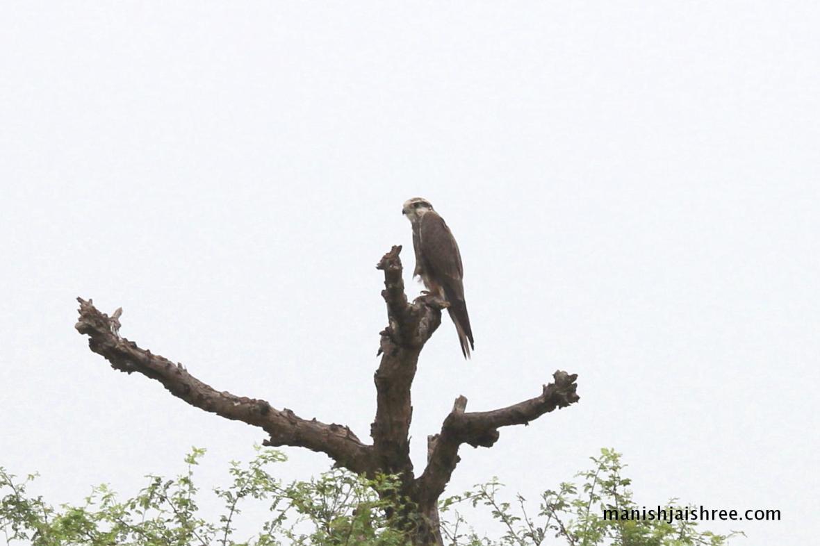 Luggar Falcon