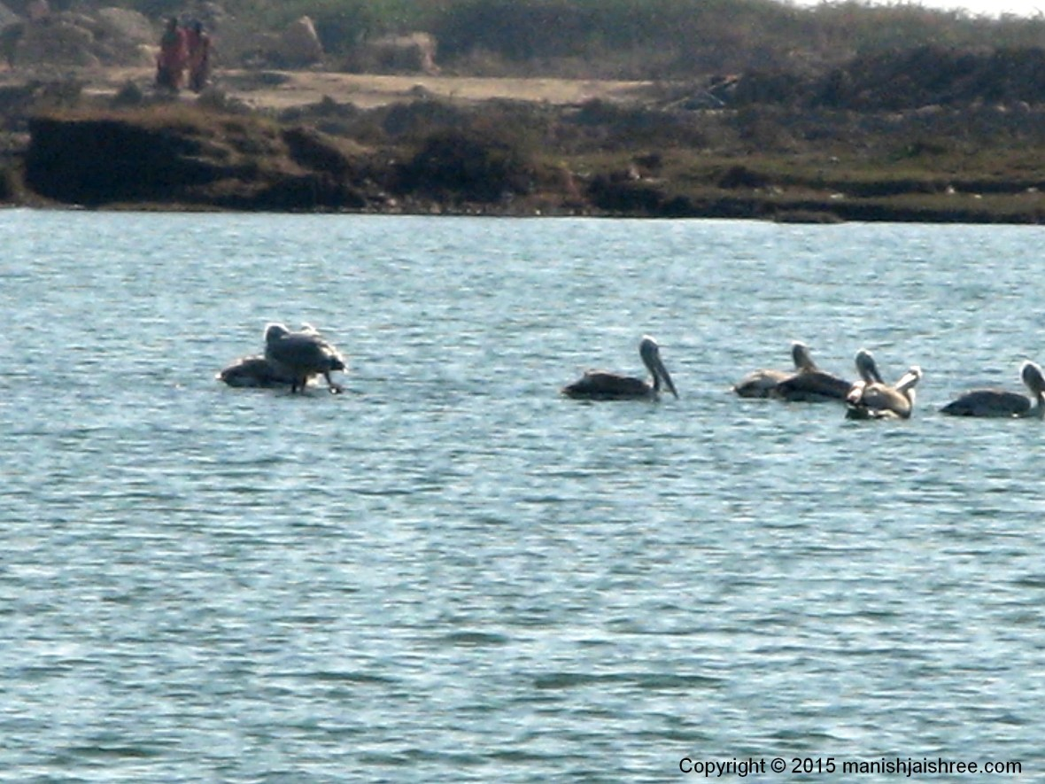 The Great White Pelicans at Sangam, Somnath
