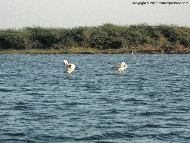 The Great White Pelicans