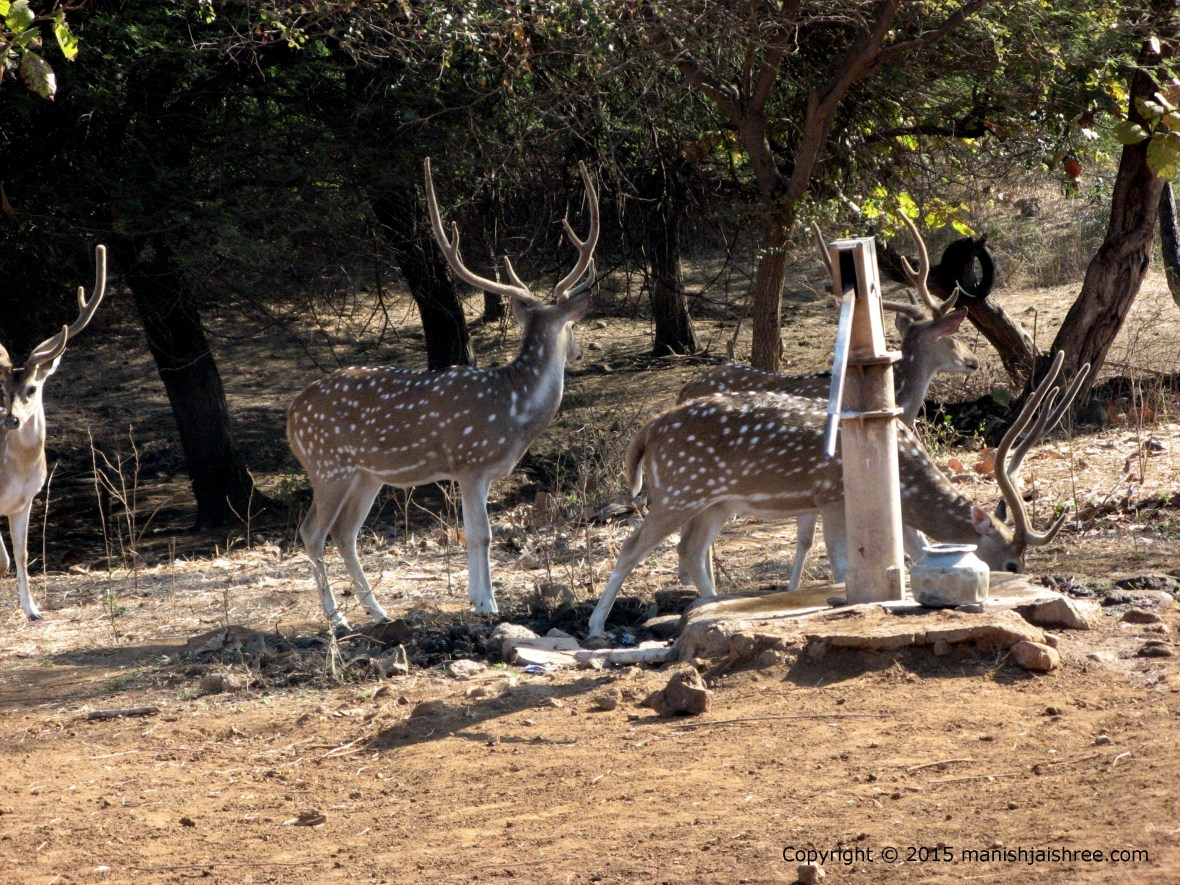Herd of Spotted Deer in Sasan Gir