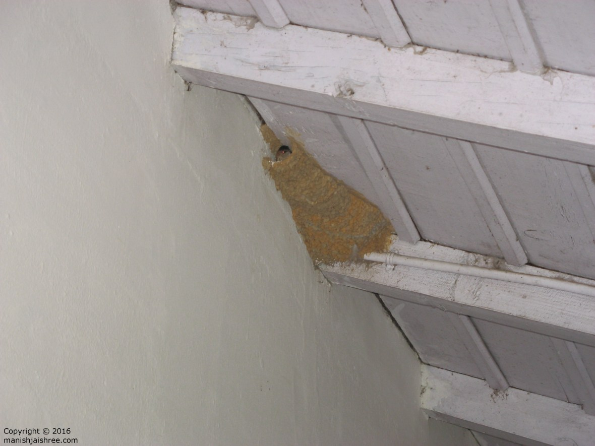 House swift in its nest, KMVN Chaukori