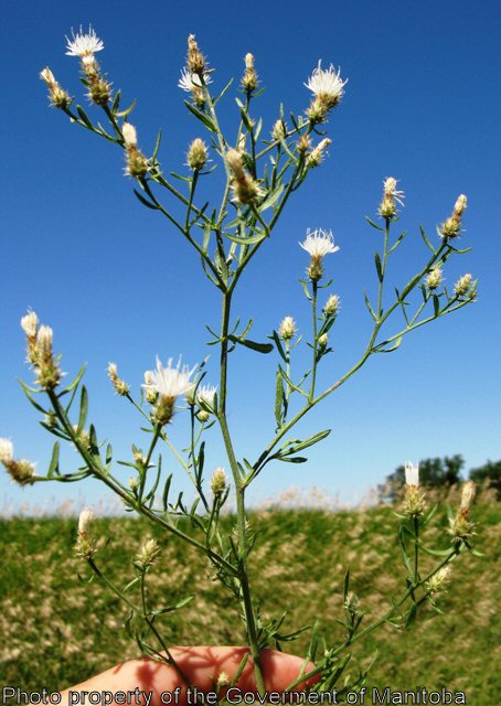 Province of Manitoba  agriculture  Diffuse Knapweed