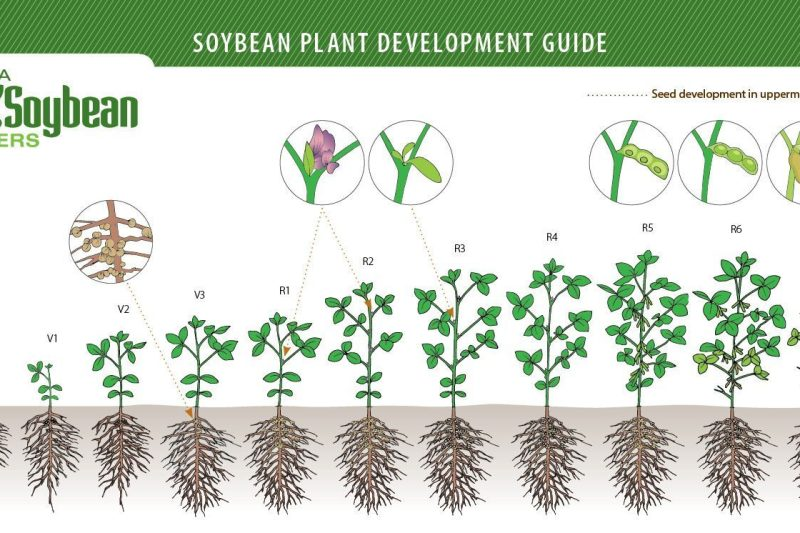 soybean plant development guide manitoba pulse soybean growers