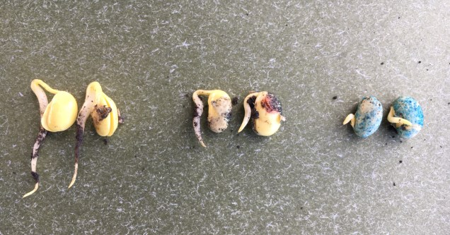 Germinated soybeans from Team A, B and C plots (left to right) on May 31st.