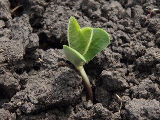 Soybeans are at the VE (cotyledon) stage.