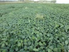 Team A soybeans at R5.