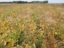 Team B soybeans at R7.5.