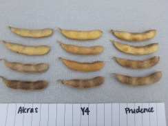 Pod colour change of USC soybeans.