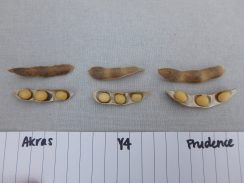 Appearance of most mature seeds and pods in USC plots.