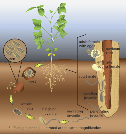 Life cycle of soybean cyst nematode. Photo: Crop Protection Network