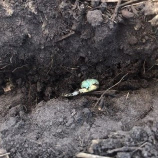 Germinated soybeans that were seeded on May 9. (Credit: Stacy Pearson)