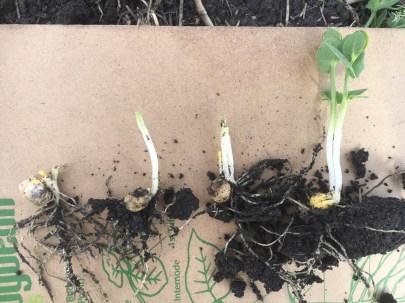 Regrowth of field peas following cutworm damage.