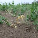 Suspected root rot in peas at V7 on June 18 near Rathwell.