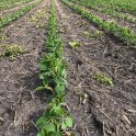 Post-herbicide efficacy in soybeans at V2 on June 17 in the RM of Dufferin. Photo: Jason Voogt