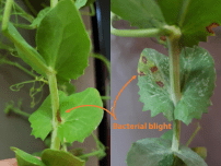 Close-up of symptoms in field peas.