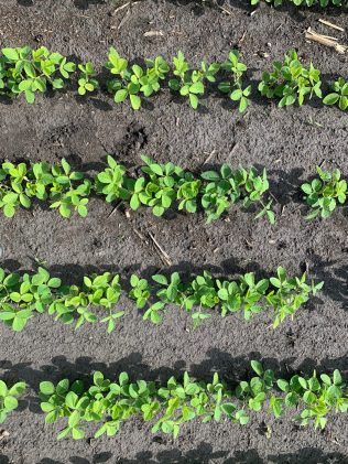 Narrow-row soybeans in an On-Farm Network trial on July 3, 2020. Planting in narrow rows can shorten the critical period for weed control in soybeans by one to three growth stages.