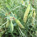 Bacterial blight on pea pods, showing a water-soaked appearance around lesions (July 21).