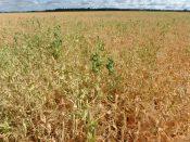Field peas at R6 near Teulon on July 28.