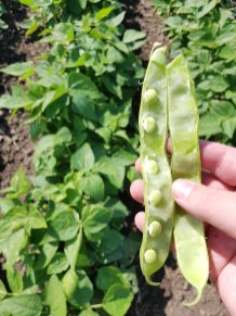 Dry beans at R5/R6 near Dauphin on July 31, 2020.