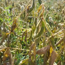 Frosted-affected soybeans at R6.5 near Clearwater on September 9.