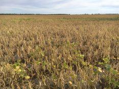 Pinto beans at R9 near Carman on September 2.