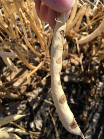 Bacterial blight lesions on a pinto bean pod on September 4. Seeds inside were not affected by these lesions.