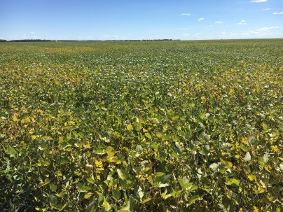 Soybeans at late R6/early R7 near Oakville on September 4.