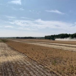 Harvest of pinto bean nitrogen trial.