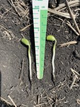 Soybeans that emerged from 1 1/2-inch to 1 3/4-inch depths (the maximum depth at which soybeans should be planted).