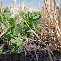 Peas at V5 (5th node) climbing up standing wheat stubble.