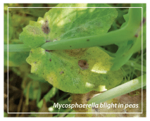 Mycosphaerella blight in peas.