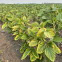 Soybeans at R2 showing signs of potassium deficiency on sandy soils near Neepawa on July 13, 2021.