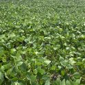 Soybeans with flipped leaves at R3 near Souris on July 14, 2021.