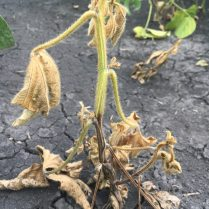 Phytophthora root and stem rot symptoms.