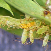 Aphidoletes midge larva among a group of aphids. Photo: Whitney Cranshaw, Colorado State University.