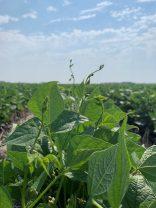 More vine development in strip-till black beans on July 23.
