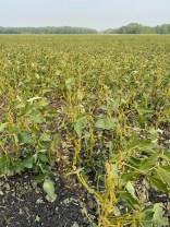 Hail damaged soybeans near Selkirk on August 3.