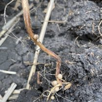 Reddish colouration of soybean roots, suggesting the presence of root rot.