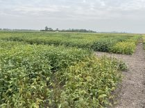 Soybean variety evaluation trial at Carman on August 27 with varieties that are starting to show signs of maturity.