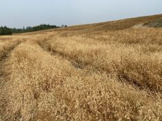 Peas drying down for harvest following desiccation.